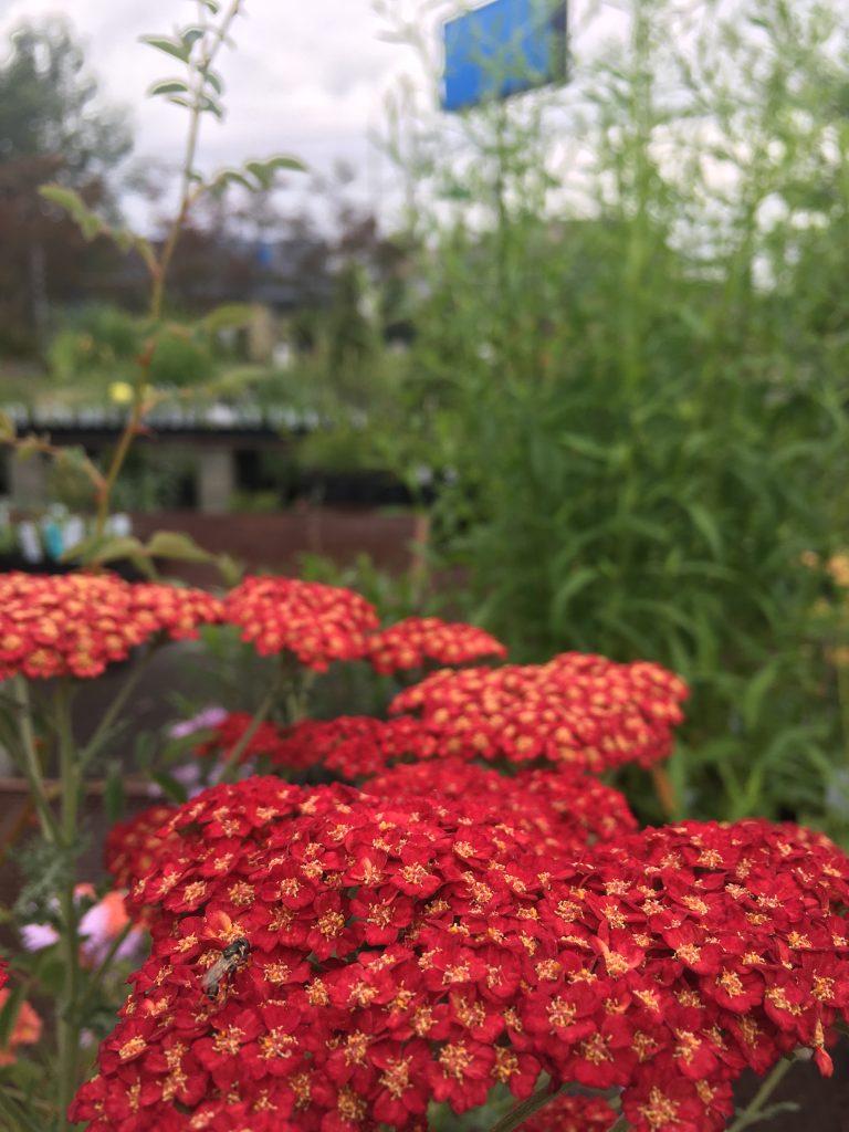 tomato red flowers of Achillea millefolium 'Pretty Woman'