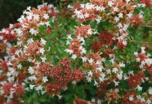 Abelia x grandiflora 'Rose Creek'