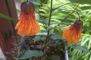 Abutilon x 'Nectarine'