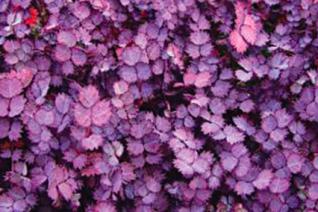 Acaena inermis 'Purpurea'