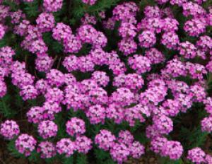 Aethionema grandiflorum