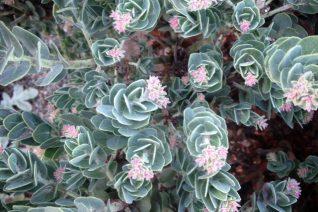 Arctostaphylos auriculata 'Diablo's Blush'
