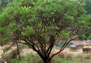 Arctostaphylos manzanita 'St. Helena'