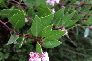 Arctostaphylos x densiflora 'Harmony'