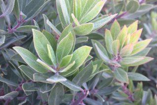 Arctostaphylos x 'Pacific Mist'
