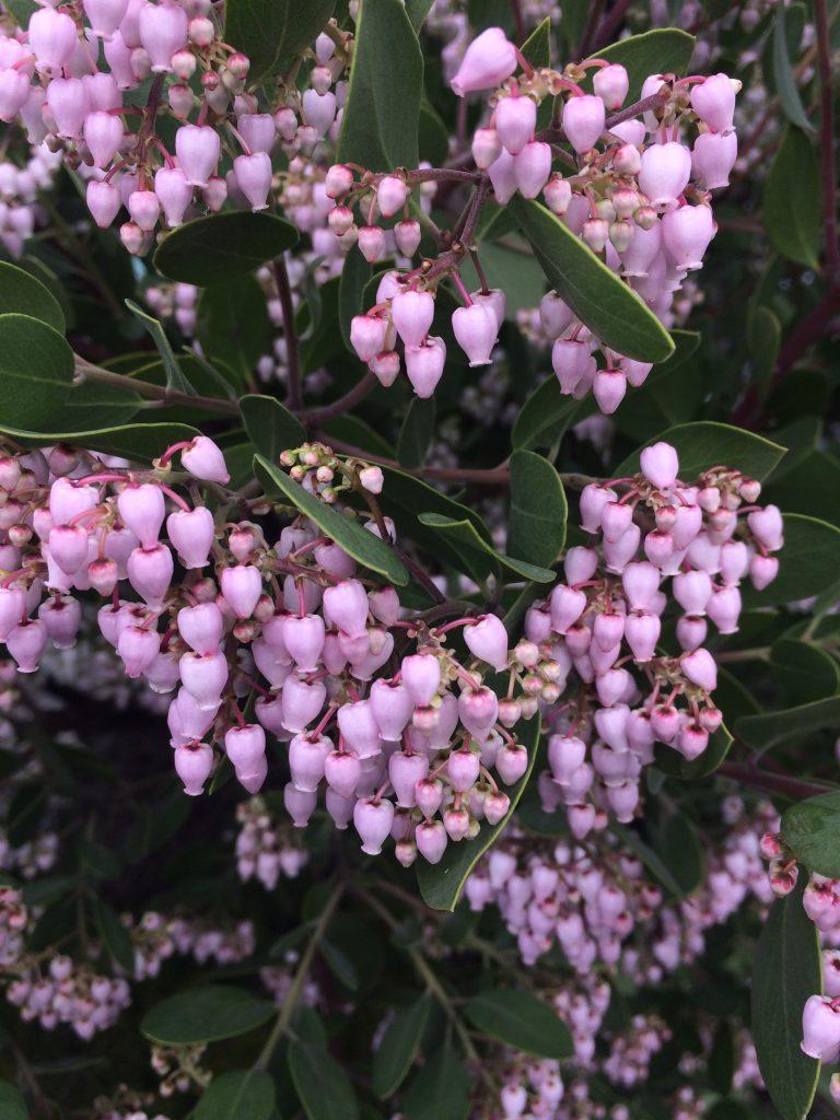 Arctostaphylos x 'Austin Griffiths' flowers