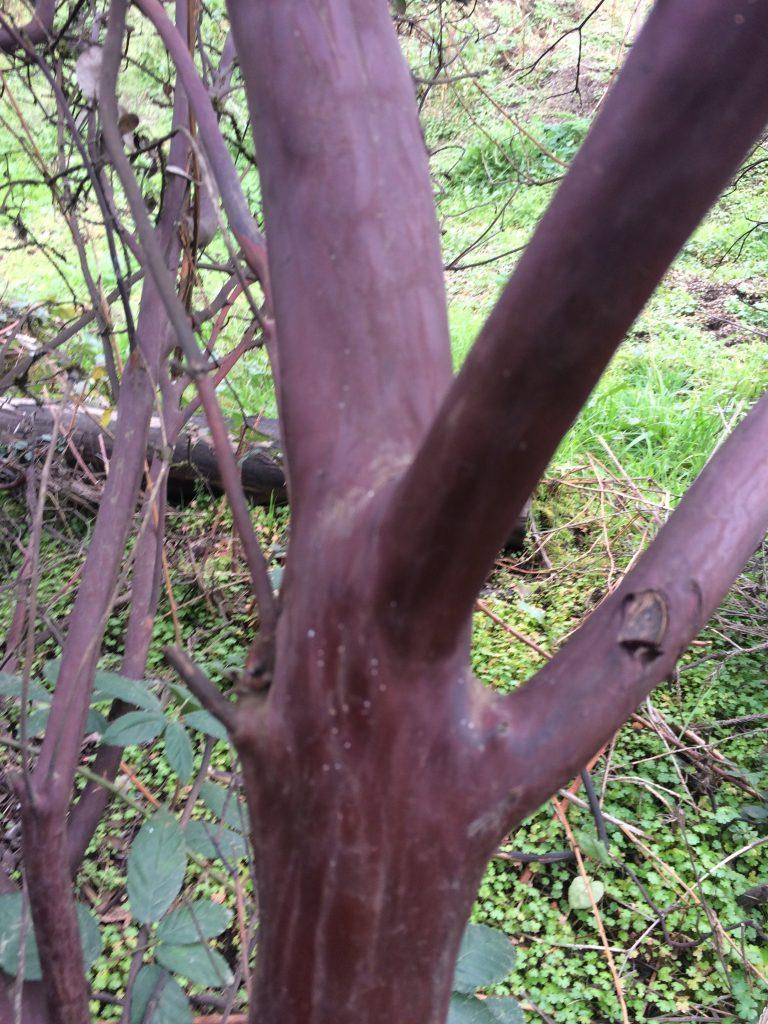 Arctostaphylos x 'Austin Griffiths' bark
