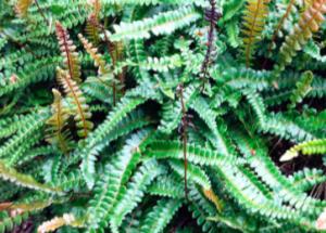 Blechnum penna-marina (Austroblechnum penna-marina)