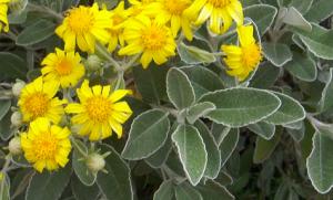 Brachyglottis greyi