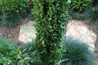 Buxus sempervirens 'Graham Blandy'