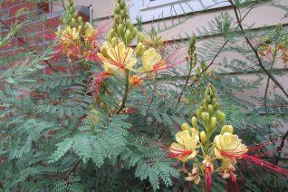 Caesalpinia gilliesii (Erythrostemon gilliesii)