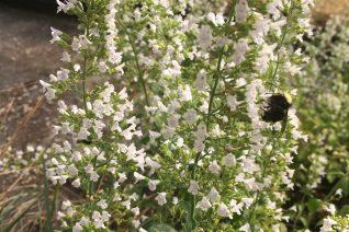 Calamintha nepeta 'Montrose White'