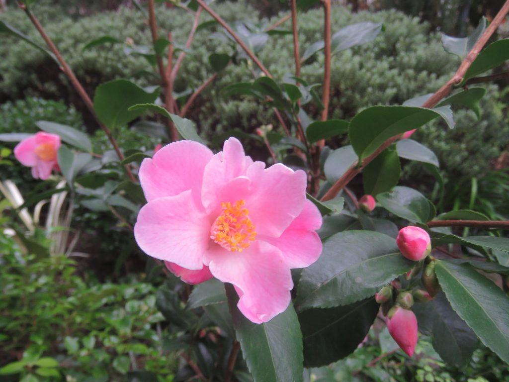 Camellia x lutchuensis 'Minato no Akebono'