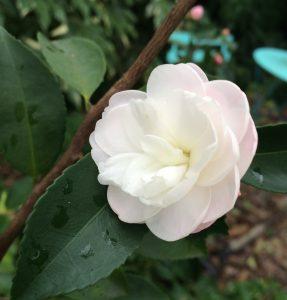 Camellia x lutchuensis 'Cinnamon Cindy'