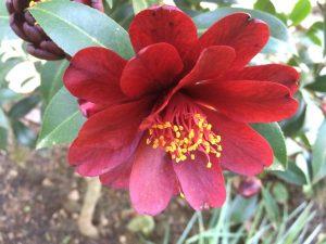 Camellia x williamsii 'Night Rider'