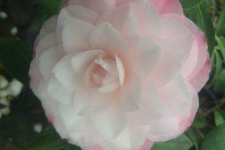 Camellia 'Nuccio's Pearl' xera plants