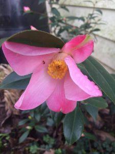 Camellia x williamsii 'Tulip Time'