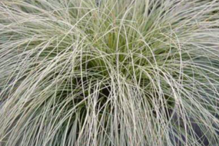 Carex comans 'Olive Oil'
