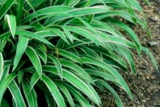 Carex siderostricha 'Variegata'