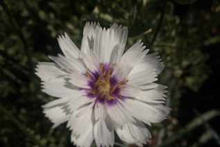 Catananche caerulea 'Alba' xera plants