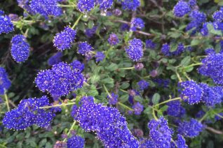 Ceanothus 'Midnight Magic' xera plants