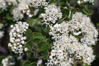 Ceanothus cuneatus ssp. cuneatus 'Adair Villiage' white flowers