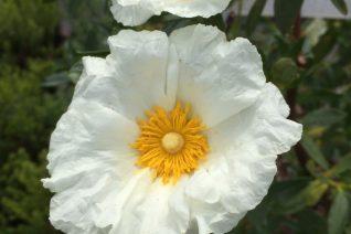 Cistus 'Bennet's White'