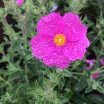 Cistus x crispatus 'Warley Rose'