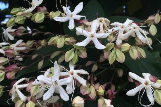 Clerodendrum trichotomum flowers