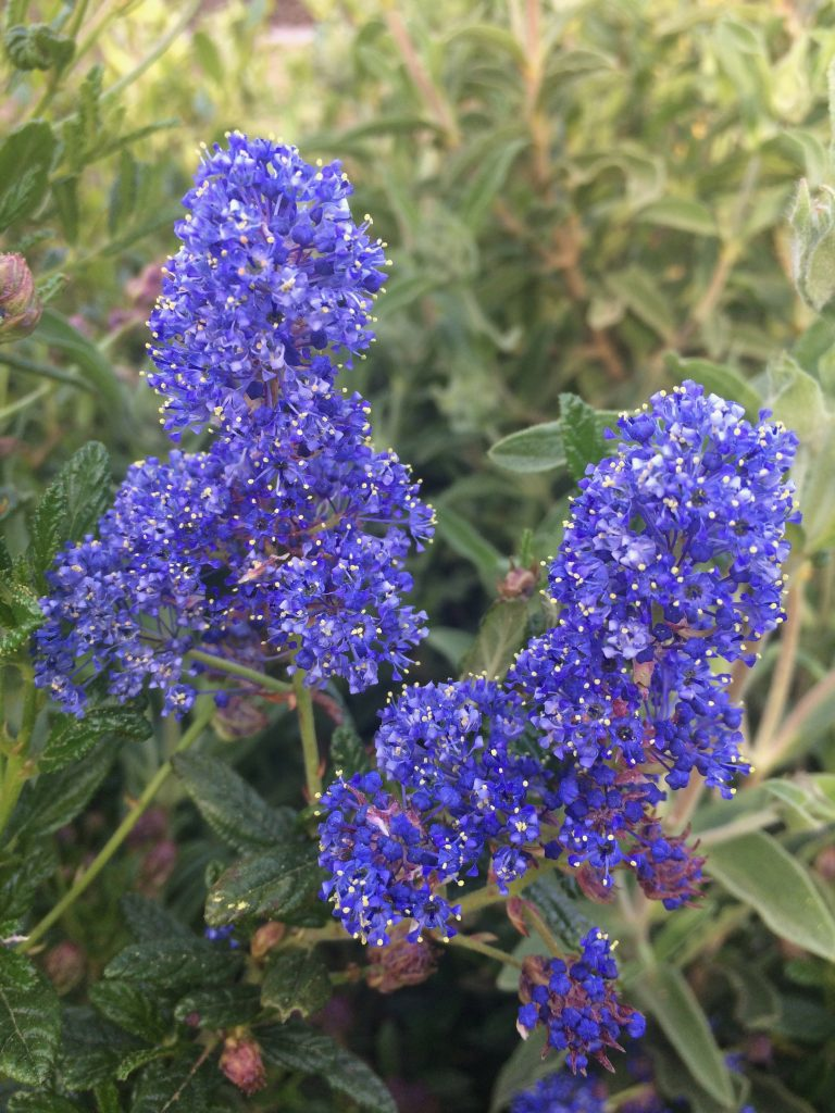 Ceanothus  'Concha' flower close up