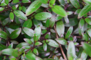 Coprosma x 'Black Cloud'