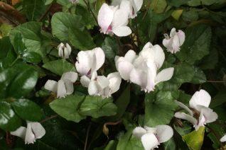 Cyclamen hederifolium 'Xera's Silver'