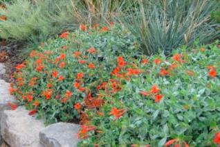 Epilobium (Zauschneria) septentrionalis 'Select Mattole'