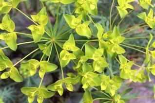 Euphorbia x 'Copton Ash'