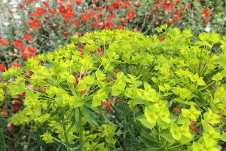 Euphorbia x 'Dean's Hybrid'