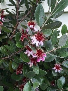 Feijoa (Acca) sellowiana