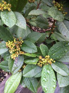 Frangula (Rhamnus) californica 'Eve Case'