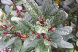 Frangula (Rhamnus) californica 'Leatherleaf'