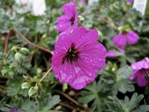 Geranium cinereum 'subcaulescens'