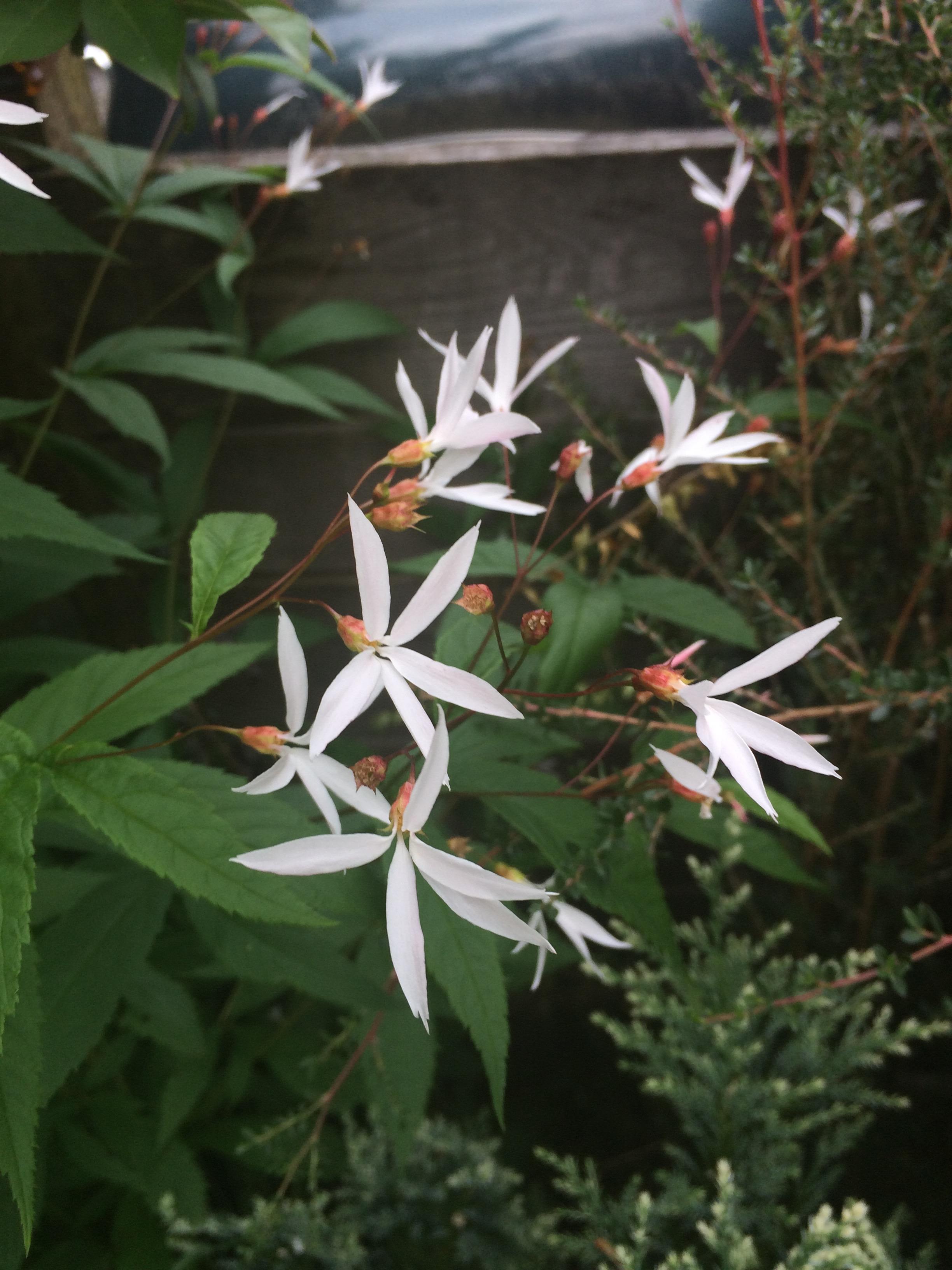 7 x Sisyrinchium /'Raspberry/' bare root plants