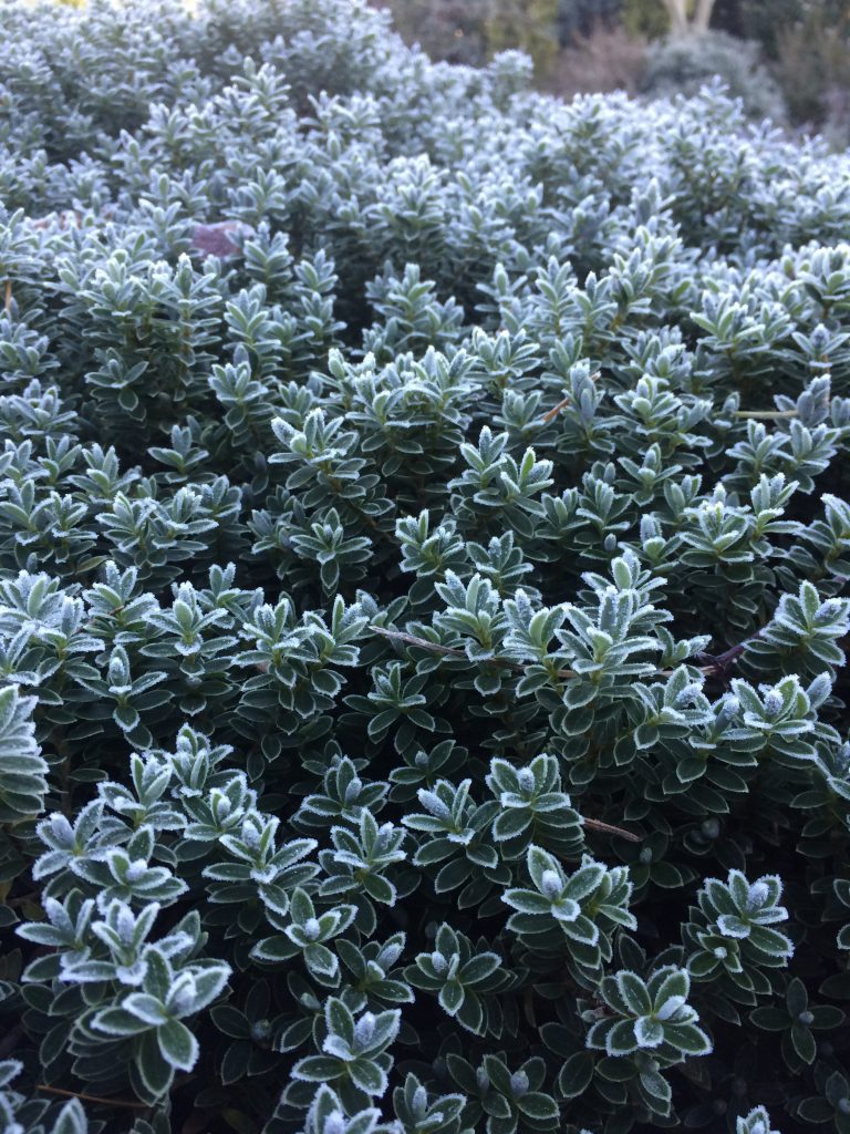 Low Ground Cover Full Sun: Hebe Pinguifolia 'Sutherlandii'