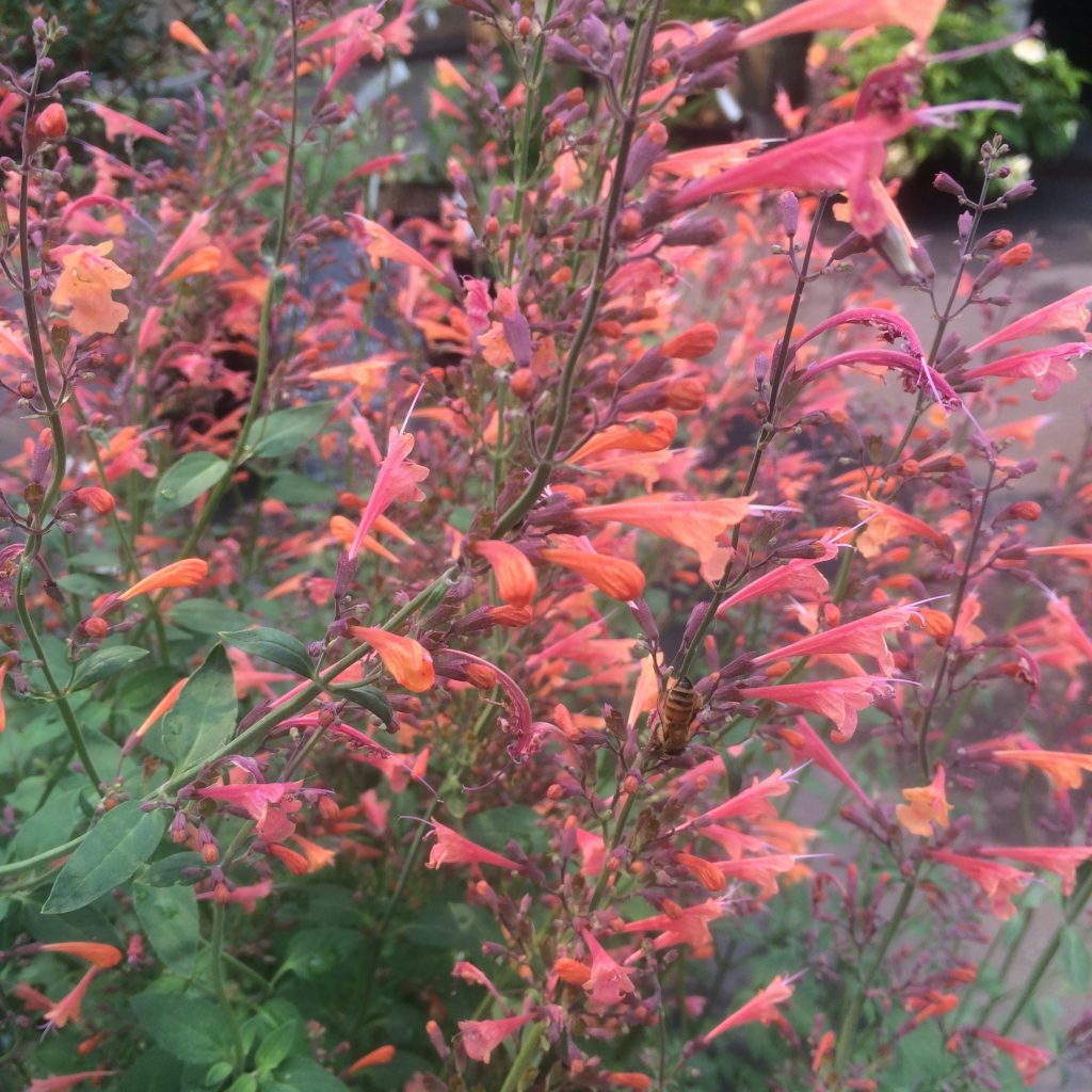 Agastache 'Electric Punch'