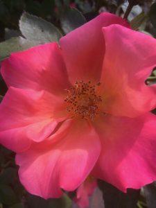 Rosa 'Radway Sunrise'