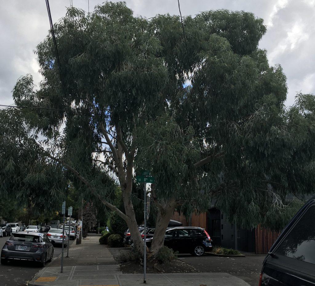 Eucalyptus pauciflora ssp. debeuzevillei