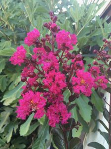 Lagerstroemia indica 'Pink Velour'®