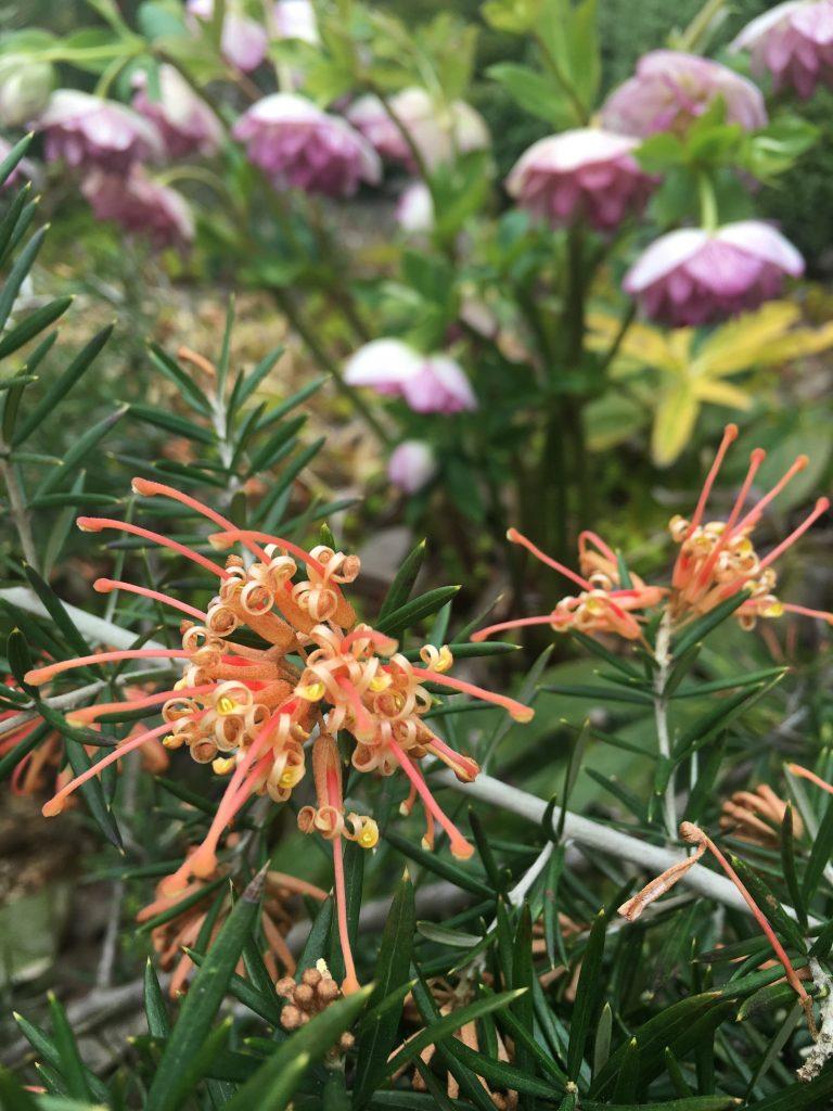 Grevillea x 'Poorinda Queen' flower detail