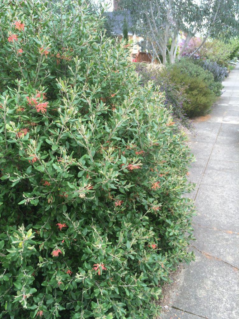 Grevillea miqueliana var. moroka in an urban garden