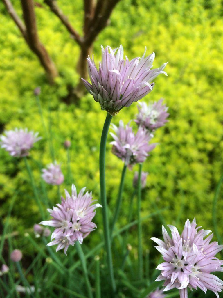 Allium schoenoprasm