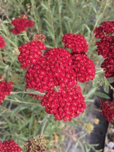 Achillea millefolium 'Pretty Woman'