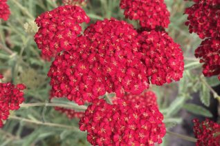 Achillea millefolium 'Pretty Woman'